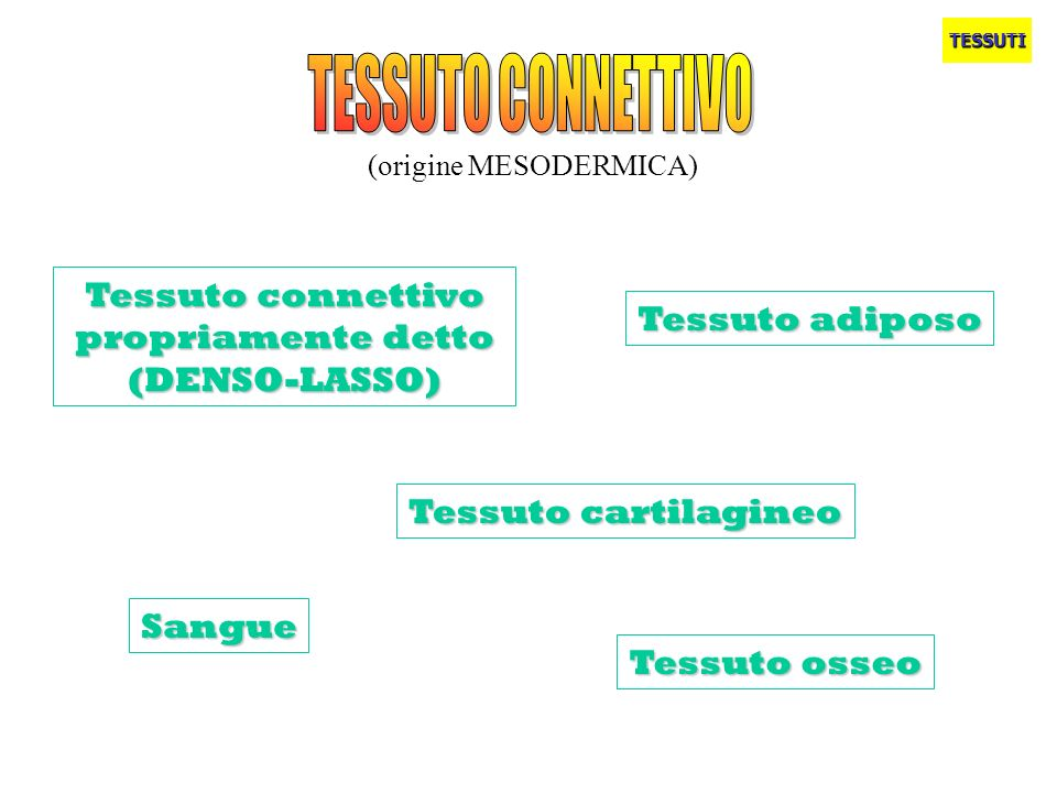 (origine MESODERMICA) TESSUTI Tessuto connettivo propriamente detto (DENSO-LASSO) Tessuto adiposo Tessuto osseo Tessuto cartilagineo Sangue