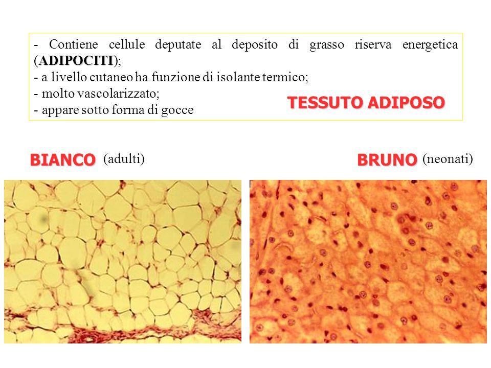 ADIPOCITI - Contiene cellule deputate al deposito di grasso riserva energetica (ADIPOCITI); - a livello cutaneo ha funzione di isolante termico; - mol