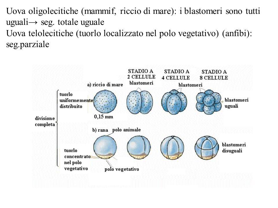 Uova oligolecitiche (mammif, riccio di mare): i blastomeri sono tutti uguali seg. totale uguale Uova telolecitiche (tuorlo localizzato nel polo vegeta