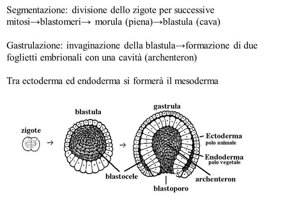 Segmentazione: divisione dello zigote per successive mitosiblastomeri morula (piena)blastula (cava) Gastrulazione: invaginazione della blastulaformazi
