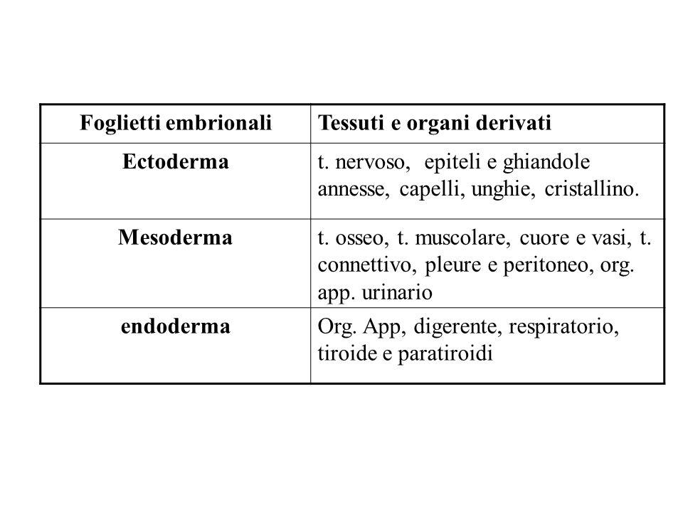 Foglietti embrionaliTessuti e organi derivati Ectodermat. nervoso, epiteli e ghiandole annesse, capelli, unghie, cristallino. Mesodermat. osseo, t. mu