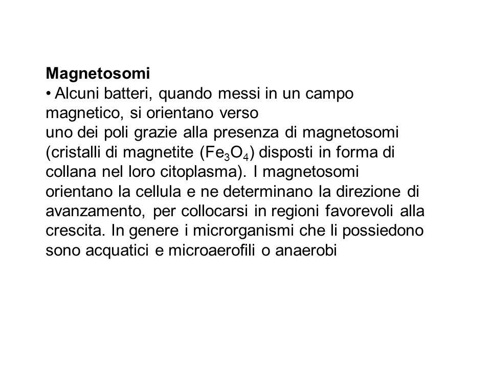 Magnetosomi Alcuni batteri, quando messi in un campo magnetico, si orientano verso uno dei poli grazie alla presenza di magnetosomi (cristalli di magn