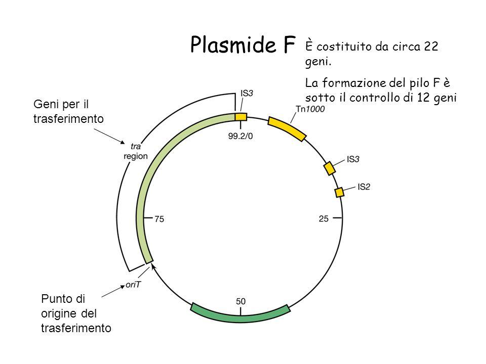 Plasmide F Geni per il trasferimento Punto di origine del trasferimento È costituito da circa 22 geni. La formazione del pilo F è sotto il controllo d