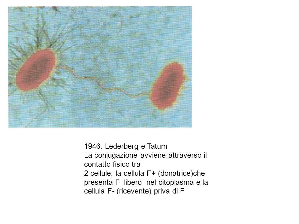 1946: Lederberg e Tatum La coniugazione avviene attraverso il contatto fisico tra 2 cellule, la cellula F+ (donatrice)che presenta F libero nel citopl