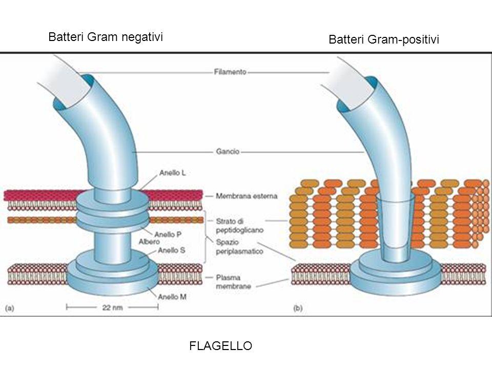 FLAGELLO Batteri Gram negativi Batteri Gram-positivi