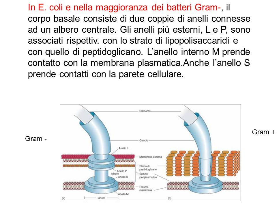 In E. coli e nella maggioranza dei batteri Gram-, il corpo basale consiste di due coppie di anelli connesse ad un albero centrale. Gli anelli più este