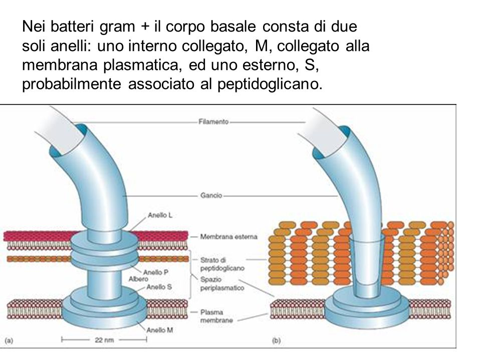 Nei batteri gram + il corpo basale consta di due soli anelli: uno interno collegato, M, collegato alla membrana plasmatica, ed uno esterno, S, probabi