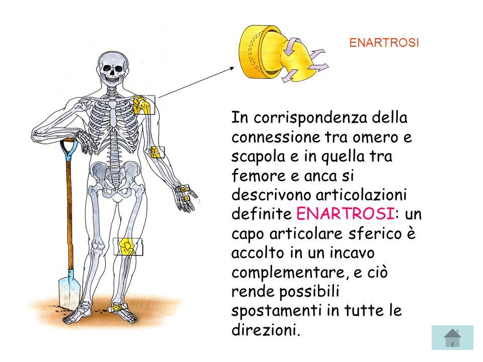 In corrispondenza della connessione tra omero e scapola e in quella tra femore e anca si descrivono articolazioni definite ENARTROSI: un capo articola