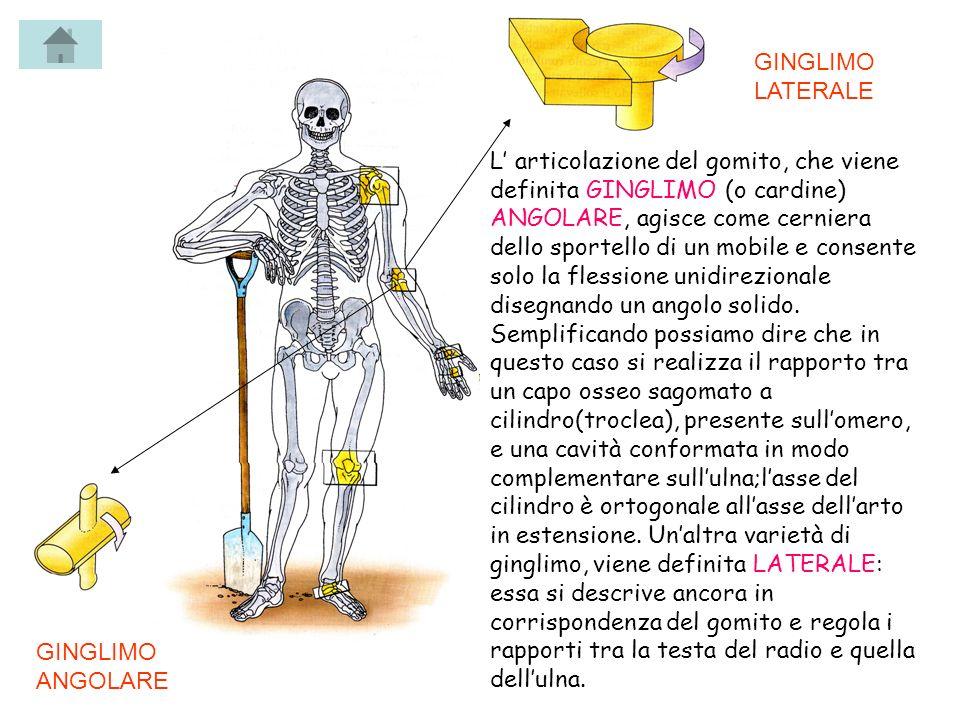 L articolazione del gomito, che viene definita GINGLIMO (o cardine) ANGOLARE, agisce come cerniera dello sportello di un mobile e consente solo la fle