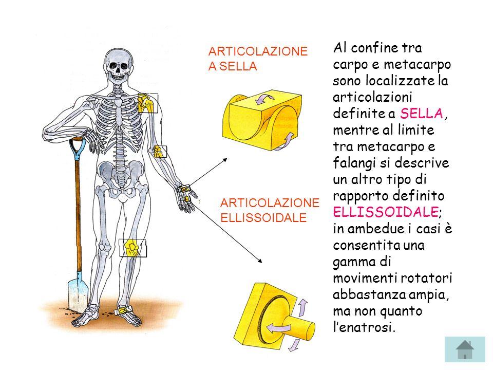 Al confine tra carpo e metacarpo sono localizzate la articolazioni definite a SELLA, mentre al limite tra metacarpo e falangi si descrive un altro tip