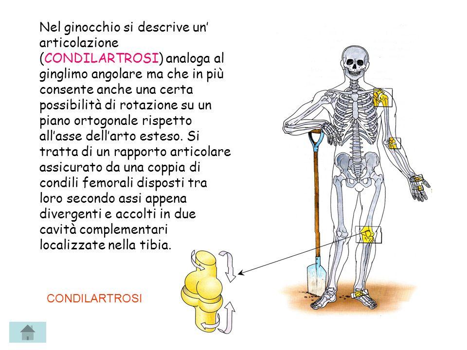 Nel ginocchio si descrive un articolazione (CONDILARTROSI) analoga al ginglimo angolare ma che in più consente anche una certa possibilità di rotazion