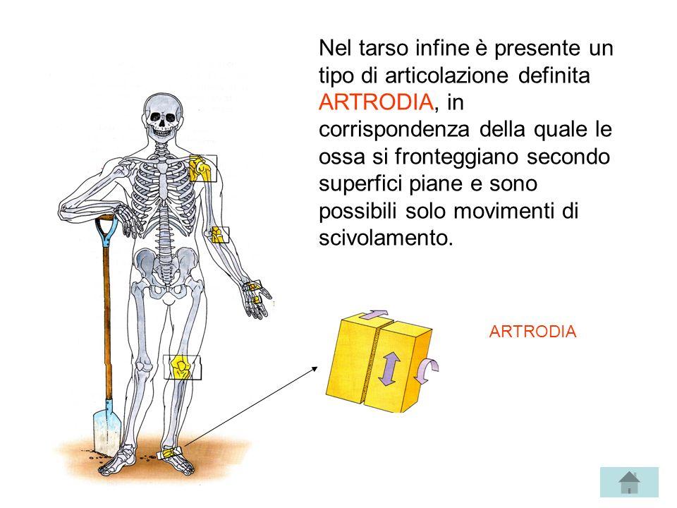 Nel tarso infine è presente un tipo di articolazione definita ARTRODIA, in corrispondenza della quale le ossa si fronteggiano secondo superfici piane
