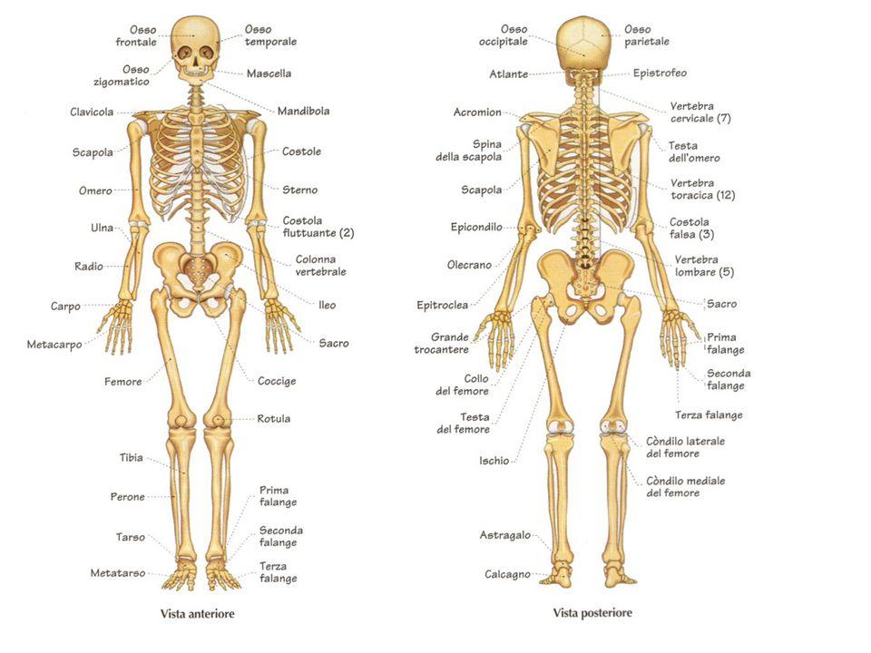 Esse sono formate da osseina 26,82% e sali di calcio 55,28% e acqua 17%.