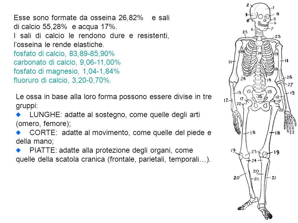 Esse sono formate da osseina 26,82% e sali di calcio 55,28% e acqua 17%. I sali di calcio le rendono dure e resistenti, losseina le rende elastiche. f