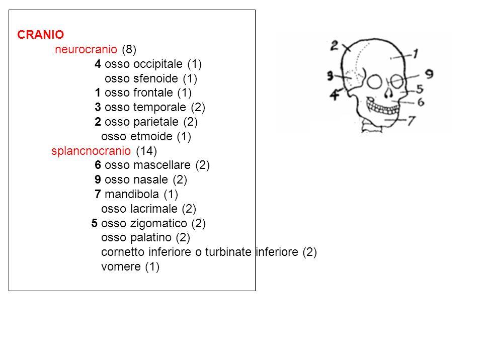 CRANIO neurocranio (8) 4 osso occipitale (1) osso sfenoide (1) 1 osso frontale (1) 3 osso temporale (2) 2 osso parietale (2) osso etmoide (1) splancno