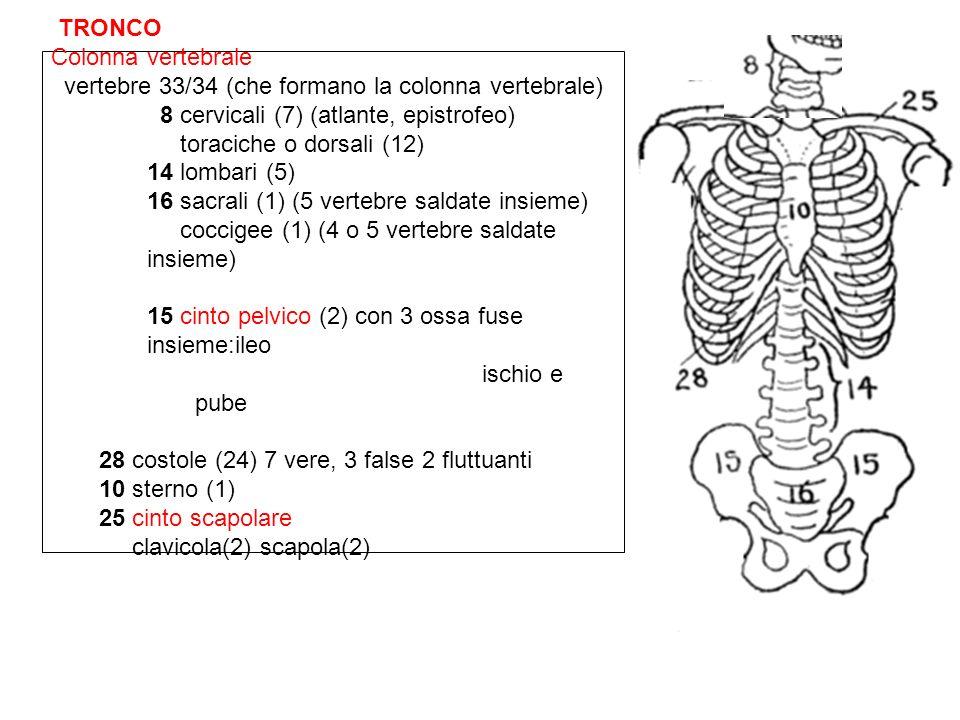 TRONCO Colonna vertebrale vertebre 33/34 (che formano la colonna vertebrale) 8 cervicali (7) (atlante, epistrofeo) toraciche o dorsali (12) 14 lombari