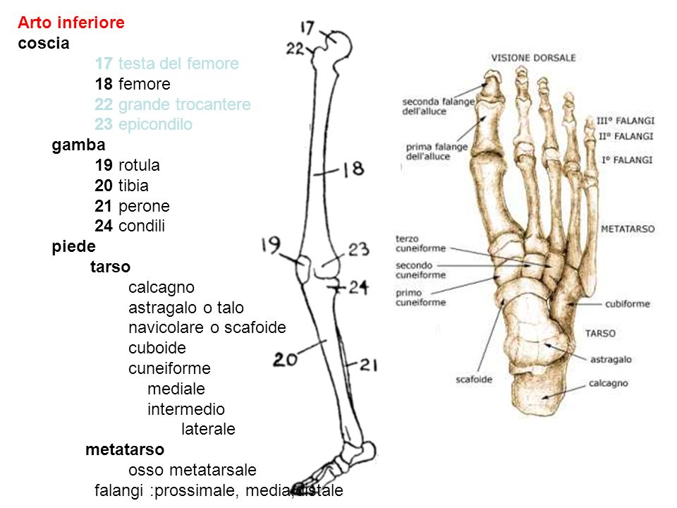 Arto inferiore coscia 17 testa del femore 18 femore 22 grande trocantere 23 epicondilo gamba 19 rotula 20 tibia 21 perone 24 condili piede tarso calca