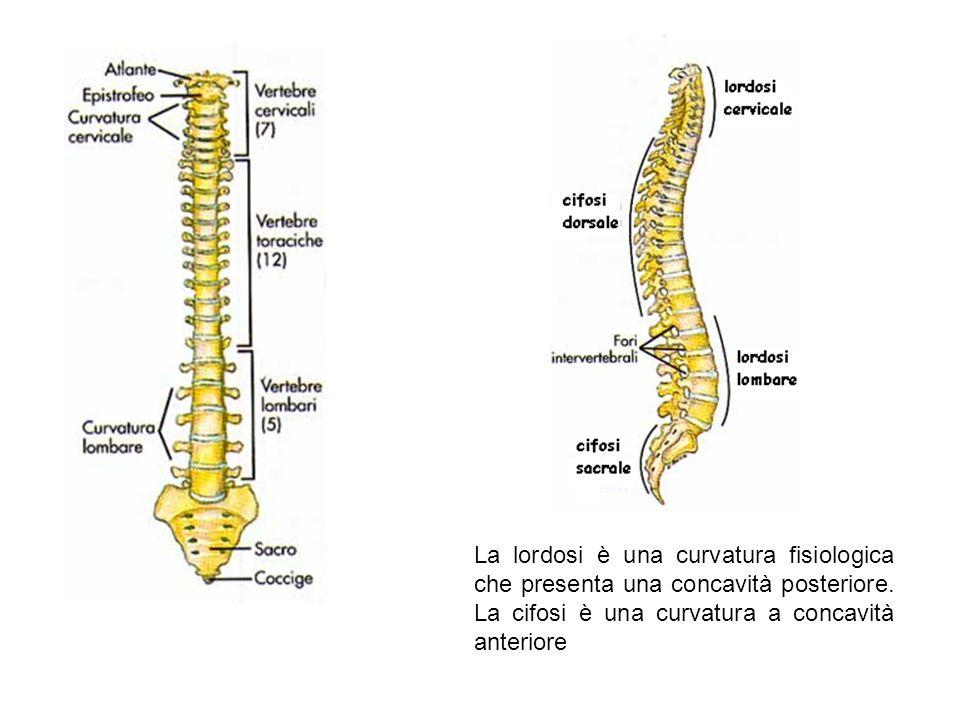 La lordosi è una curvatura fisiologica che presenta una concavità posteriore. La cifosi è una curvatura a concavità anteriore