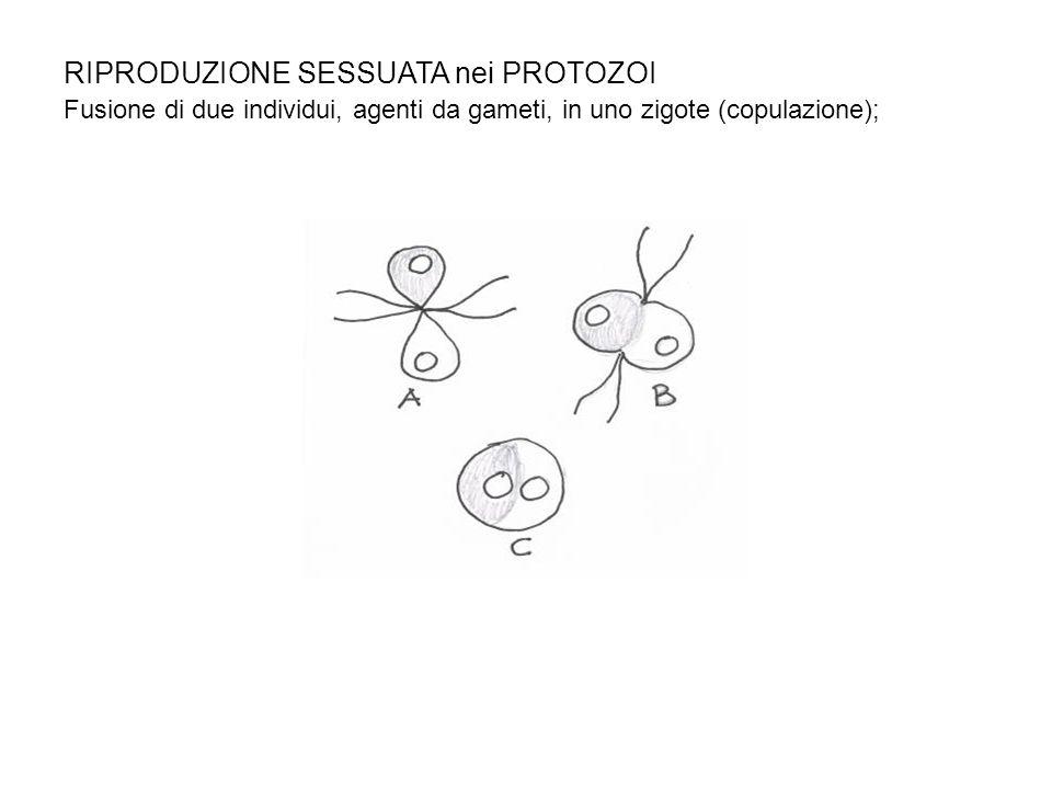 RIPRODUZIONE SESSUATA nei PROTOZOI Fusione di due individui, agenti da gameti, in uno zigote (copulazione);