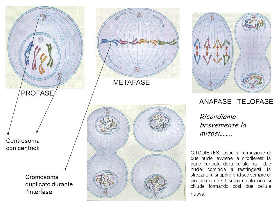 PROFASE METAFASE ANAFASE TELOFASE CITODIERESI Dopo la formazione di due nuclei avviene la citodieresi: la parte centrale della cellula fra i due nucle