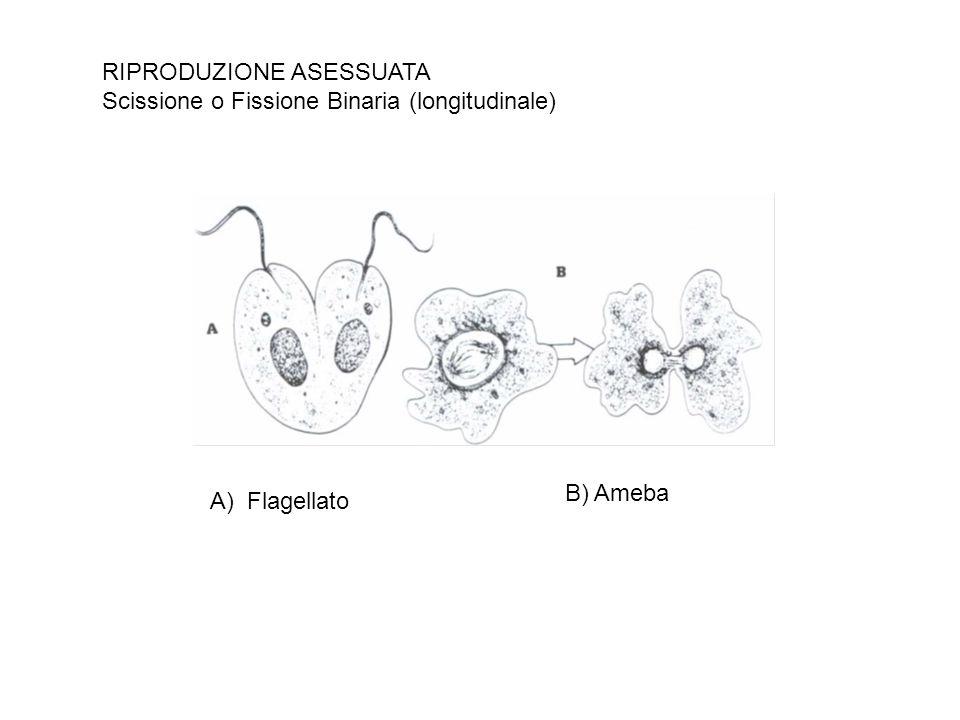 RIPRODUZIONE ASESSUATA Scissione o Fissione Binaria (longitudinale) A) Flagellato B) Ameba