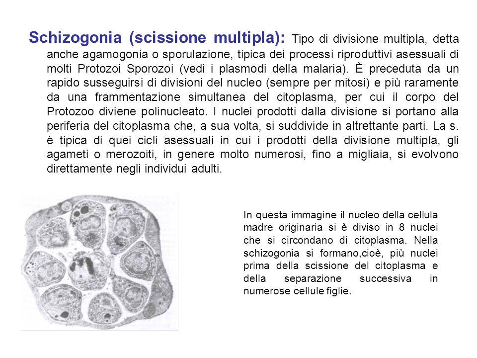 Schizogonia (scissione multipla): Tipo di divisione multipla, detta anche agamogonia o sporulazione, tipica dei processi riproduttivi asessuali di mol