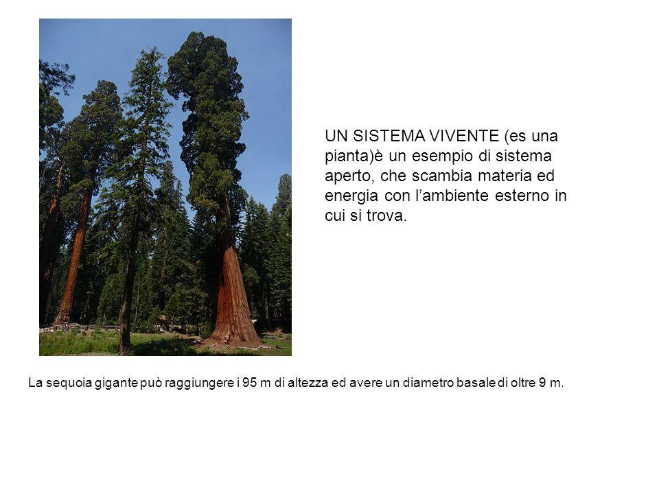 La sequoia gigante può raggiungere i 95 m di altezza ed avere un diametro basale di oltre 9 m.