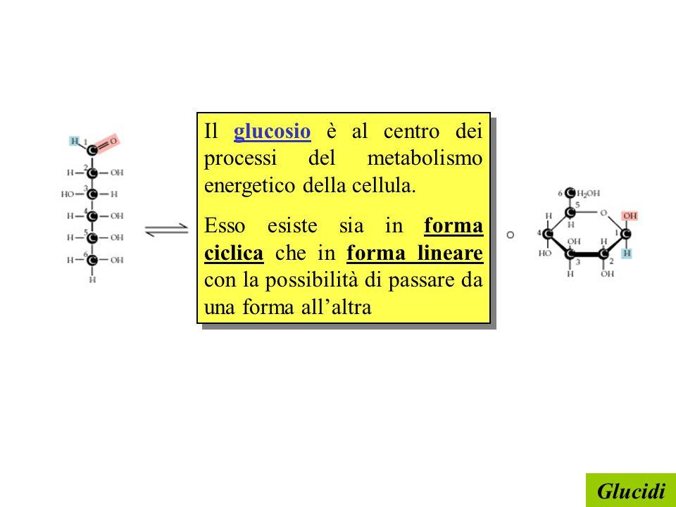 Glucidi Il glucosio è al centro dei processi del metabolismo energetico della cellula. Esso esiste sia in forma ciclica che in forma lineare con la po