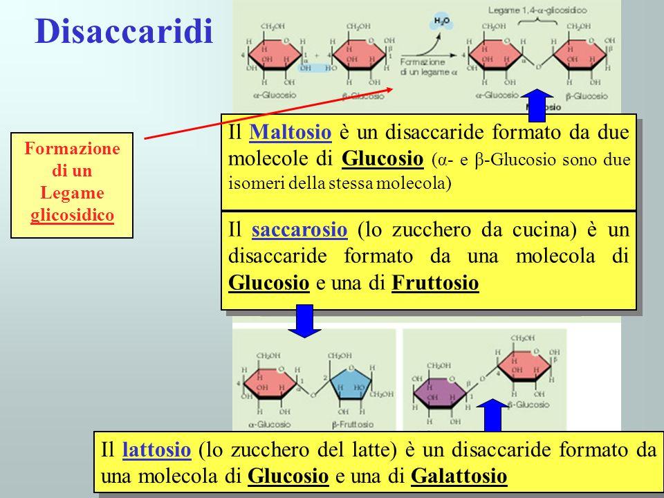 Disaccaridi Il Maltosio è un disaccaride formato da due molecole di Glucosio (α- e β-Glucosio sono due isomeri della stessa molecola) Il saccarosio (l