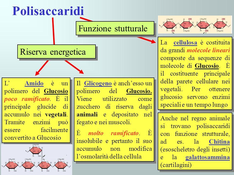 Polisaccaridi Funzione stutturale La cellulosa è costituita da grandi molecole lineari composte da sequenze di molecole di Glucosio. È il costituente
