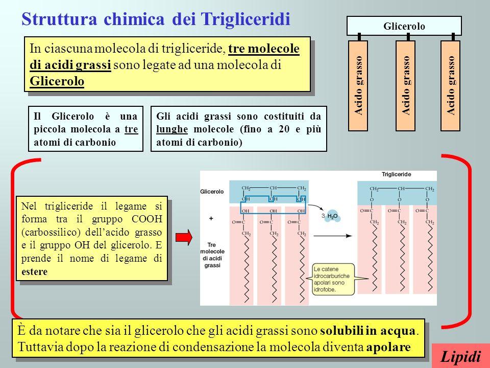Lipidi Struttura chimica dei Trigliceridi In ciascuna molecola di trigliceride, tre molecole di acidi grassi sono legate ad una molecola di Glicerolo