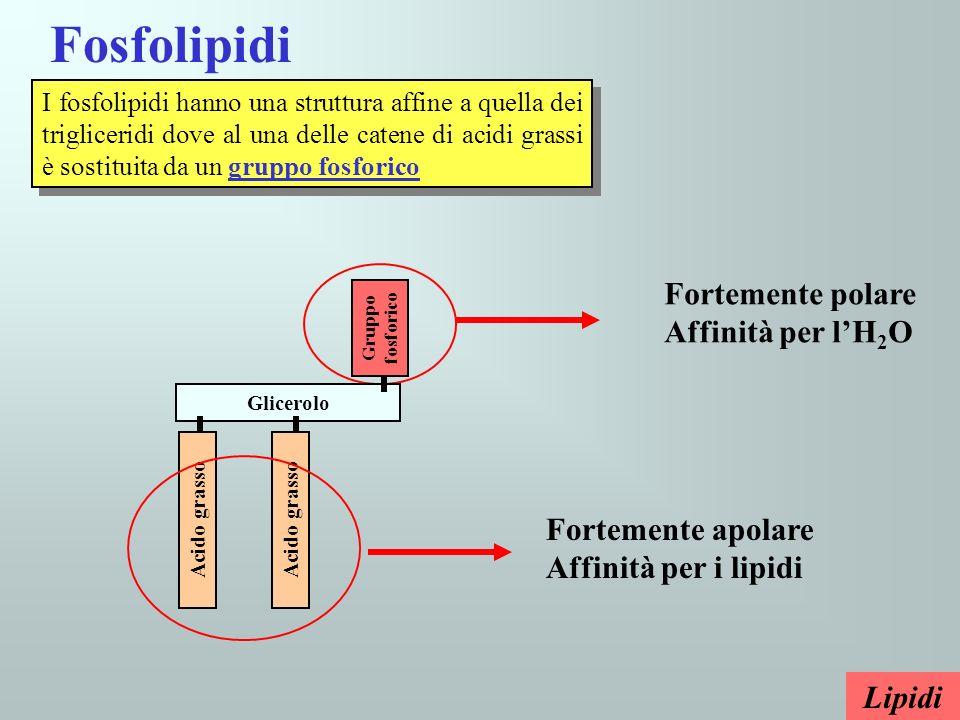 Fosfolipidi I fosfolipidi hanno una struttura affine a quella dei trigliceridi dove al una delle catene di acidi grassi è sostituita da un gruppo fosf