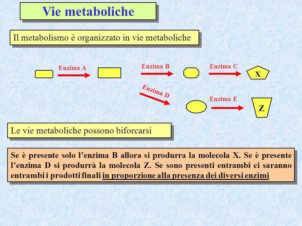 Il metabolismo è organizzato in vie metaboliche X Enzima A Enzima BEnzima C Z Enzima E Enzima D Le vie metaboliche possono biforcarsi Se è presente so