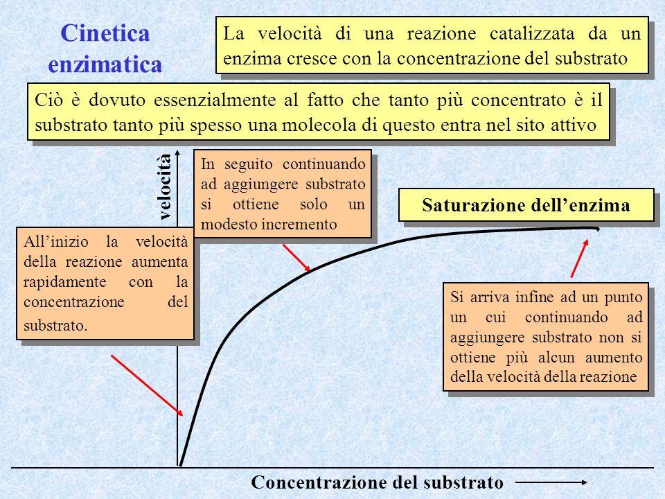 Cinetica enzimatica La velocità di una reazione catalizzata da un enzima cresce con la concentrazione del substrato Ciò è dovuto essenzialmente al fat