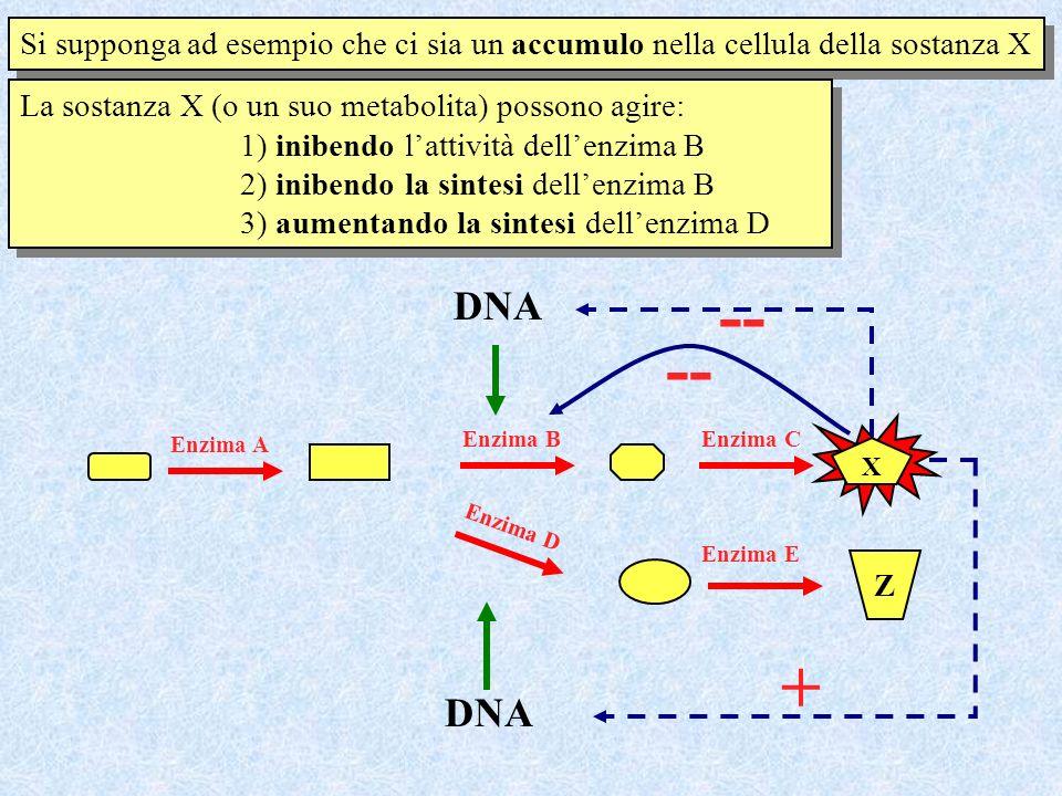 X Enzima A Enzima BEnzima C Z Enzima E Enzima D Si supponga ad esempio che ci sia un accumulo nella cellula della sostanza X La sostanza X (o un suo m
