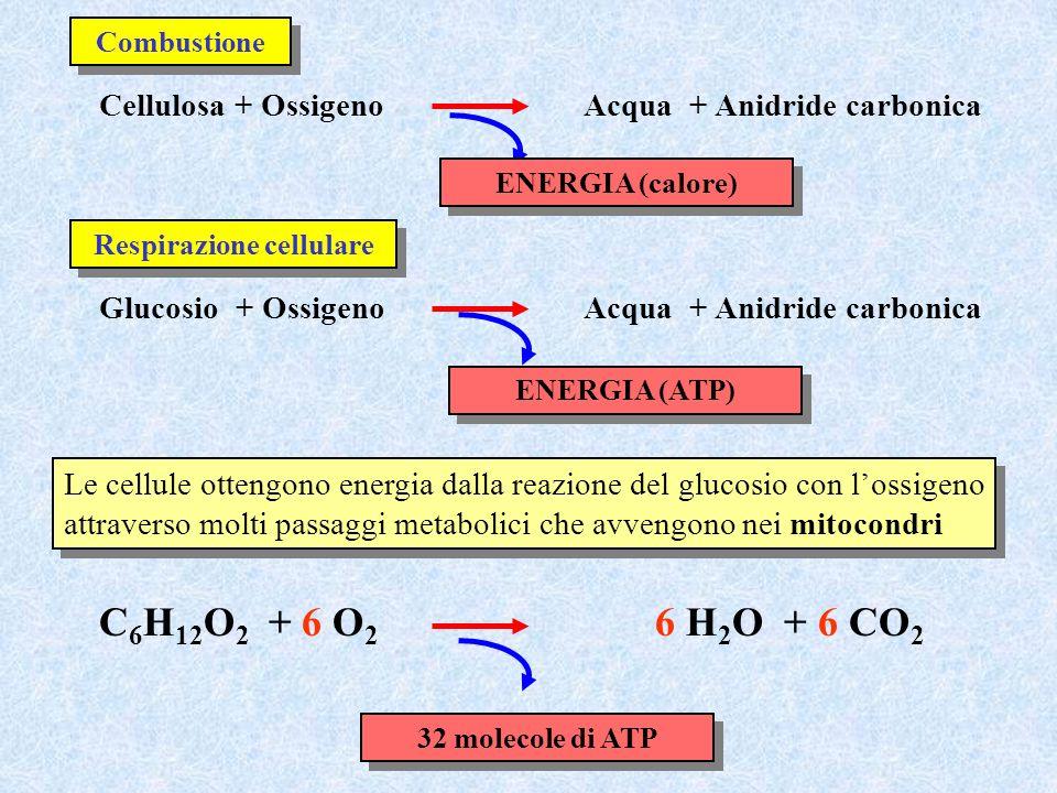 Cellulosa + OssigenoAcqua + Anidride carbonica Combustione Glucosio + OssigenoAcqua + Anidride carbonica Respirazione cellulare ENERGIA (calore) ENERG