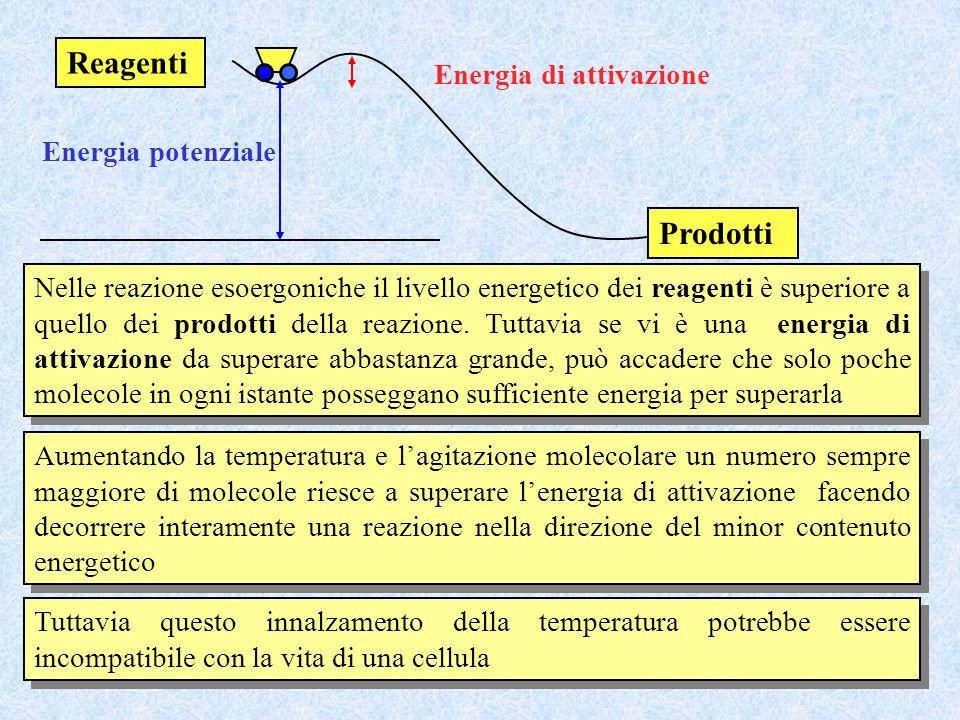 Energia potenziale Energia di attivazione Nelle reazione esoergoniche il livello energetico dei reagenti è superiore a quello dei prodotti della reazi
