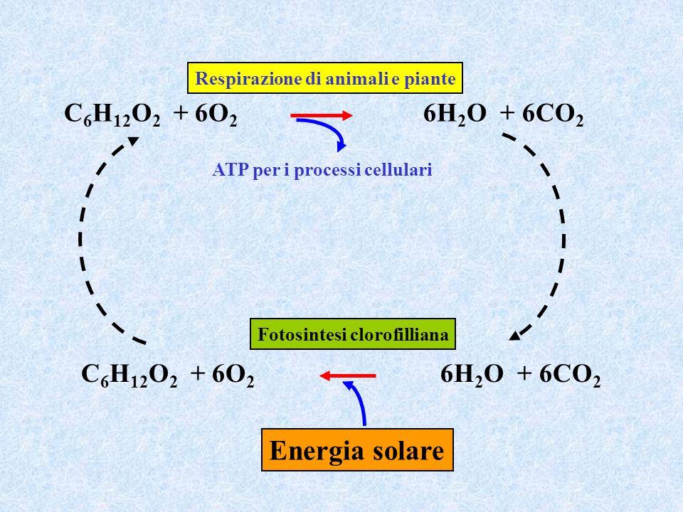 C 6 H 12 O 2 + 6O 2 6H 2 O + 6CO 2 Respirazione di animali e piante ATP per i processi cellulari C 6 H 12 O 2 + 6O 2 6H 2 O + 6CO 2 Energia solare Fot
