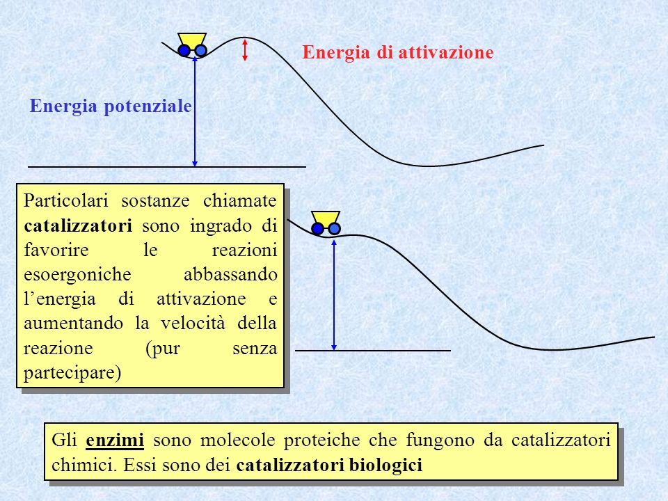 Gli enzimi sono molecole proteiche che fungono da catalizzatori chimici. Essi sono dei catalizzatori biologici Particolari sostanze chiamate catalizza