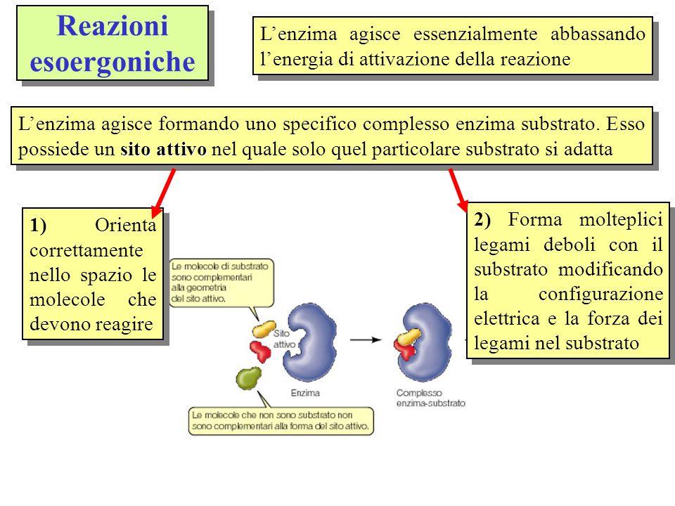 Reazioni endoergoniche Nelle reazioni endoergoniche catalizzate da enzimi quasi sempre entra in gioco la molecola dellATP (adenosintrifosfato) una molecola con tre atomi di fosforo che alloccorrenza ne può perdere uno liberando energia Gli enzimi permettono inoltre che avvengano reazioni endoergoniche mediante laccoppiamento con reazioni che liberano energia