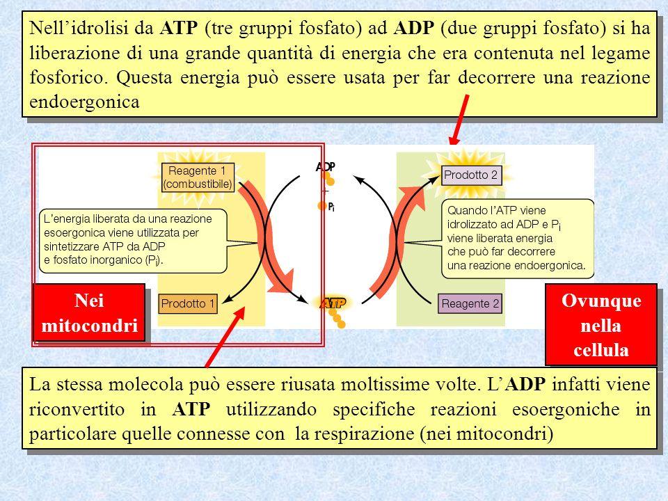 Nellidrolisi da ATP (tre gruppi fosfato) ad ADP (due gruppi fosfato) si ha liberazione di una grande quantità di energia che era contenuta nel legame