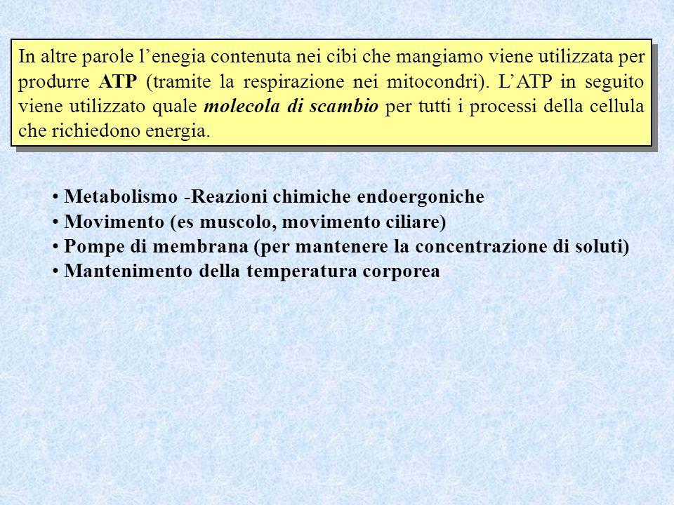 In altre parole lenegia contenuta nei cibi che mangiamo viene utilizzata per produrre ATP (tramite la respirazione nei mitocondri). LATP in seguito vi