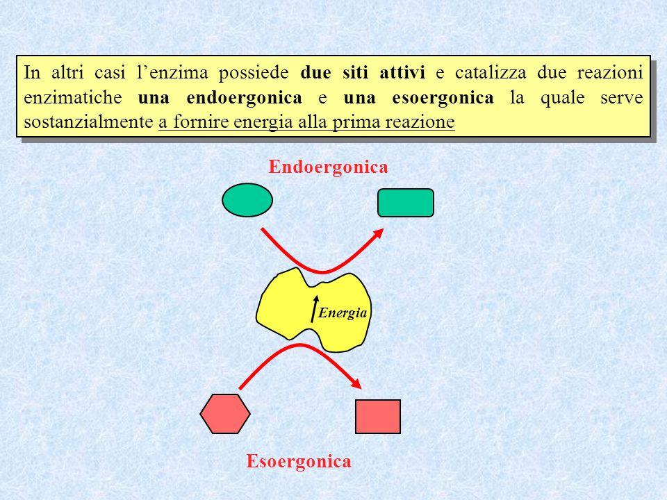 In altri casi lenzima possiede due siti attivi e catalizza due reazioni enzimatiche una endoergonica e una esoergonica la quale serve sostanzialmente
