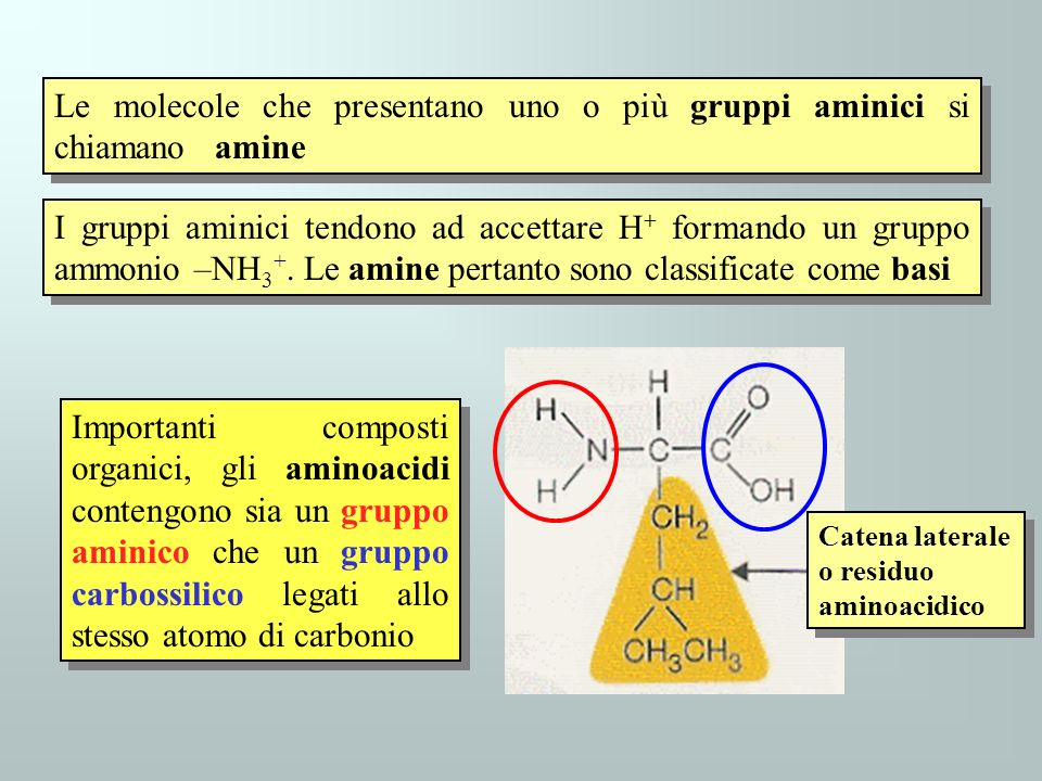 Le molecole che presentano uno o più gruppi aminici si chiamano amine I gruppi aminici tendono ad accettare H + formando un gruppo ammonio –NH 3 +. Le