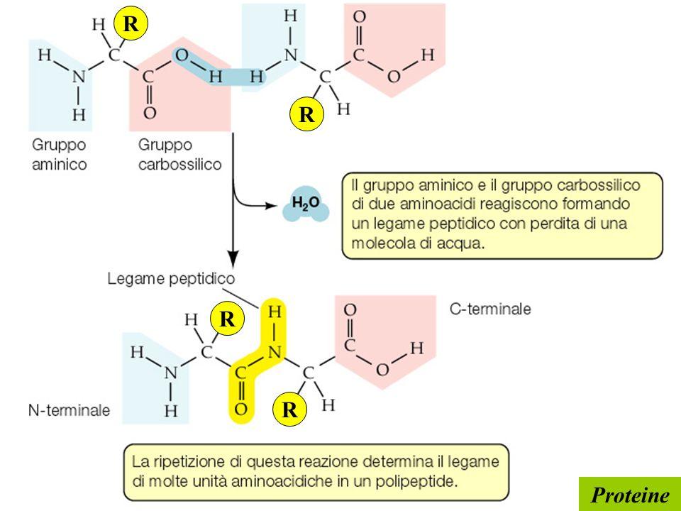 Proteine R R R R