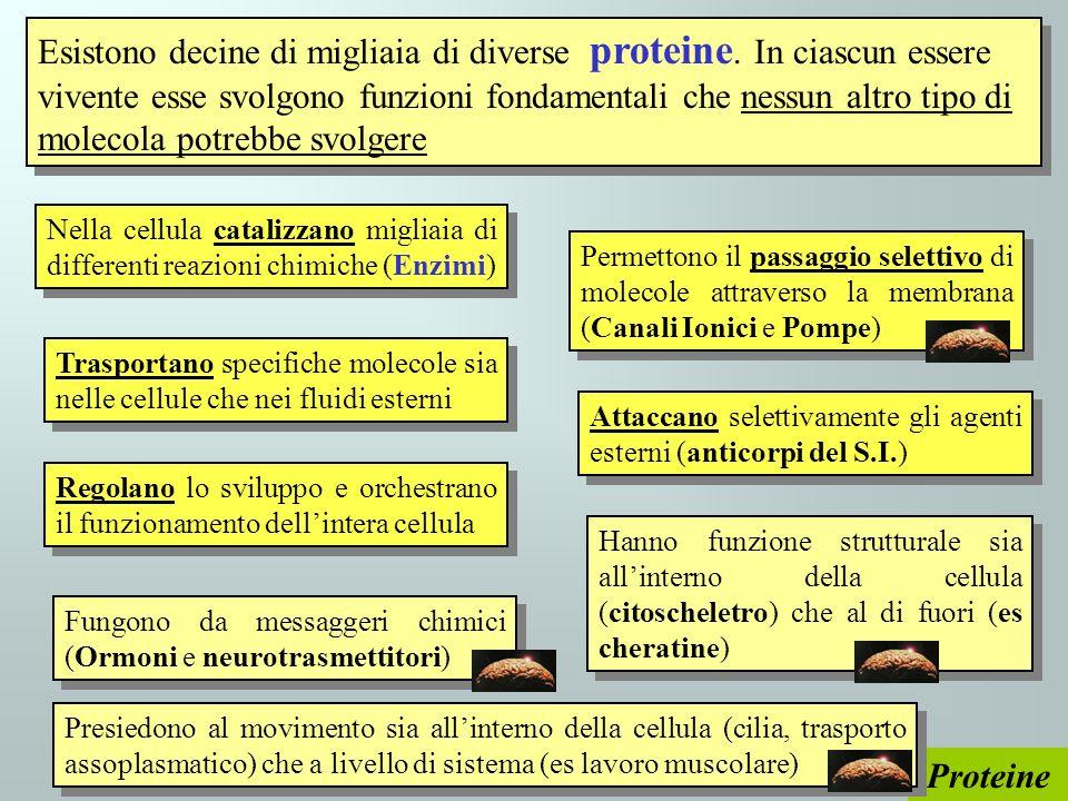 Proteine Esistono decine di migliaia di diverse proteine. In ciascun essere vivente esse svolgono funzioni fondamentali che nessun altro tipo di molec