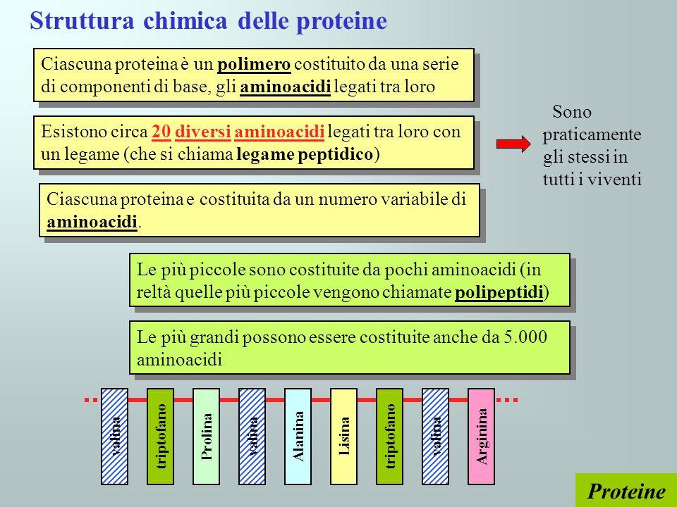 Proteine Struttura chimica delle proteine Ciascuna proteina è un polimero costituito da una serie di componenti di base, gli aminoacidi legati tra lor