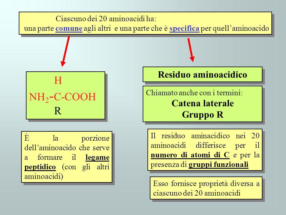 Ciascuno dei 20 aminoacidi ha: una parte comune agli altri e una parte che è specifica per quellaminoacido Ciascuno dei 20 aminoacidi ha: una parte co