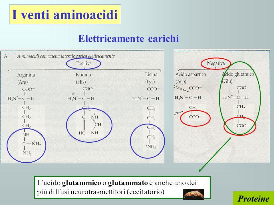 Proteine I venti aminoacidi Elettricamente carichi Lacido glutammico o glutammato è anche uno dei più diffusi neurotrasmettitori (eccitatorio)