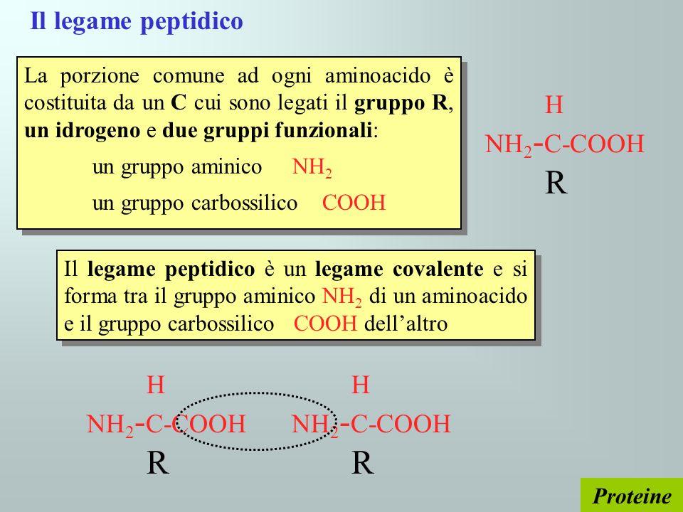 Il legame peptidico H NH 2 - C-COOH R La porzione comune ad ogni aminoacido è costituita da un C cui sono legati il gruppo R, un idrogeno e due gruppi